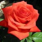 Самый популярный цветок для букета